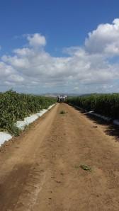 campo tomates Sta Isbel